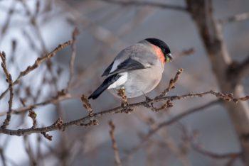 ウソという小鳥の写真
