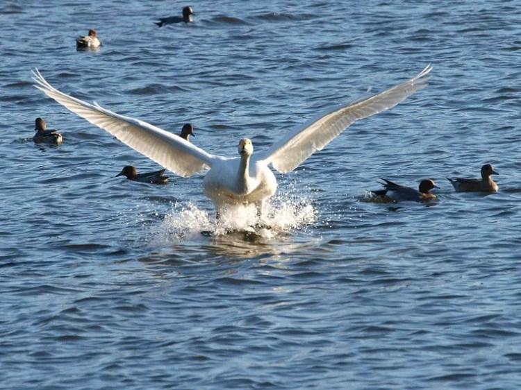 白鳥の着水