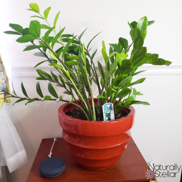ZZ Plants are super easy to care for. Great low maintenance houseplants