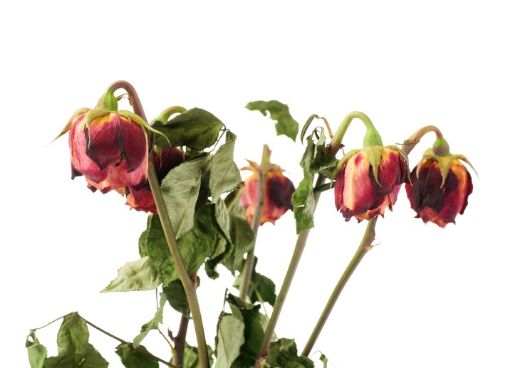 Dried roses symbolizing the four unmistakable signs of dehydration.