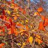 Illinois Rose Fall Foliage
