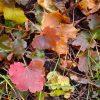 Prairie Alum Root