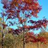 Red Oak BFP