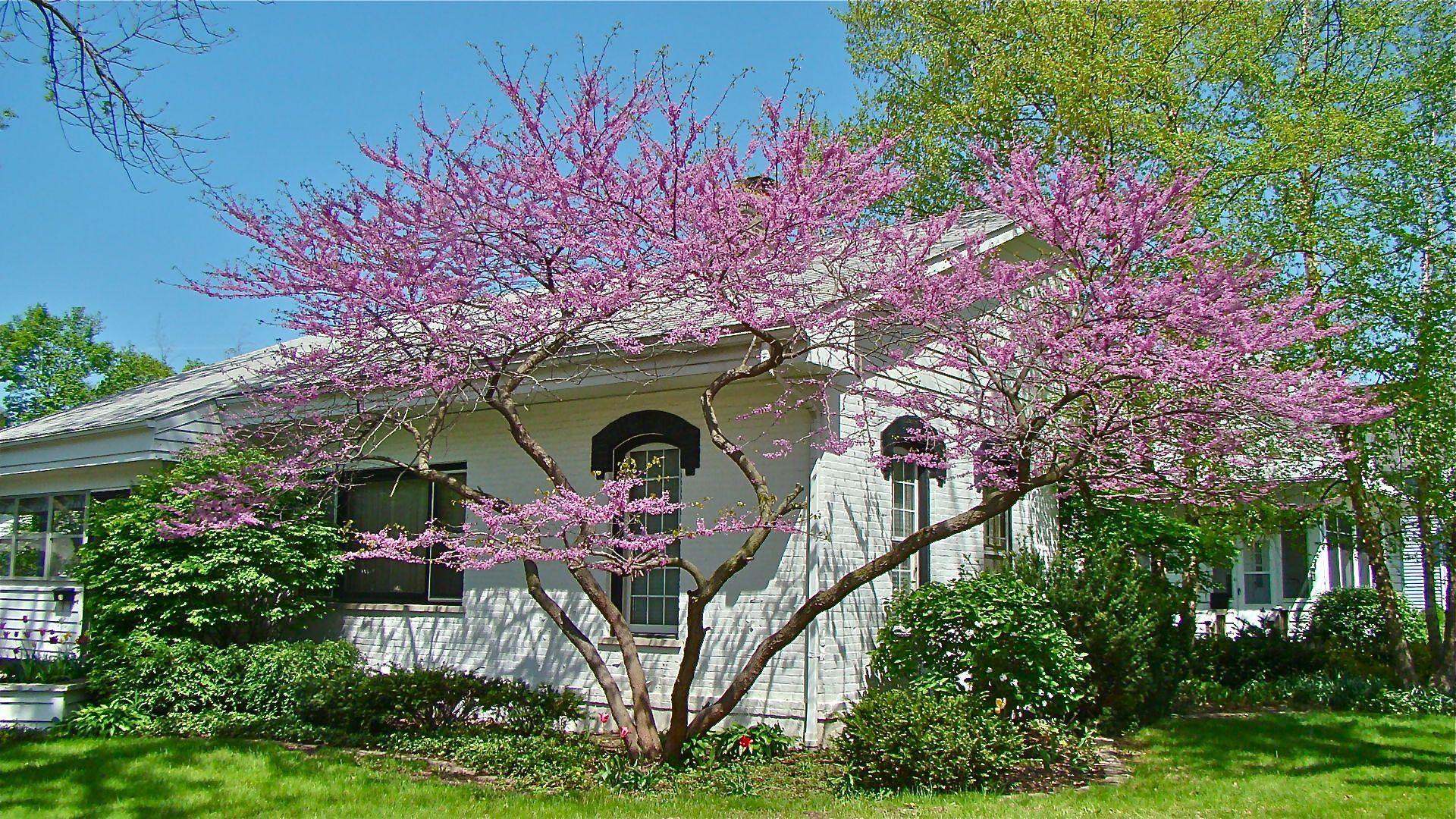 Debe ser (casi) la primavera: Los árboles coloridos están floreciendo | El Seattle Times