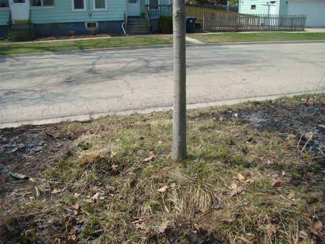 tree in burned  parkway