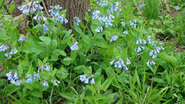 bluebells best one