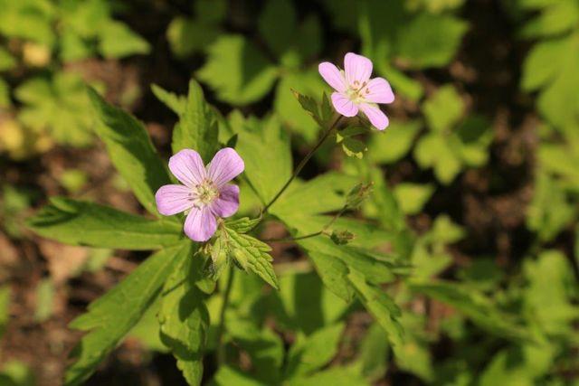 wild geranium Ben