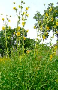 compass plant in full bloom
