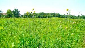 compass plant in schulenberg prairie