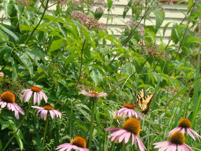 tiger swallowtail on pcf 2014