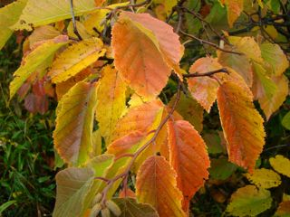 leaves hazelnut
