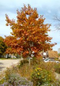 red oak fall foliage 10:14