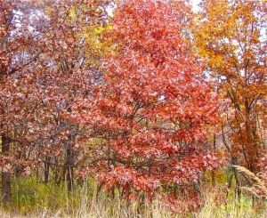 1 young white oak red