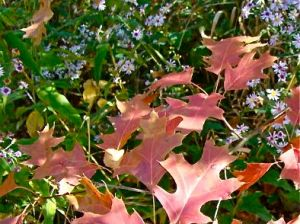Hill's Oak