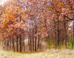 scarlet oak fall foilage BFP