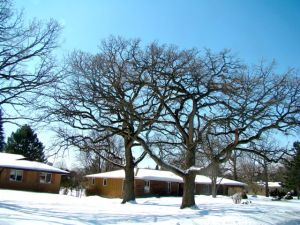 Bur Oak winter Century Oaks