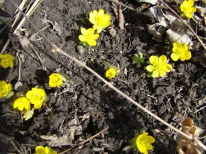 winter aconite 2015