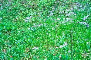 bliss woods wild blue phlox