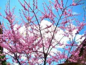 redbud against sky