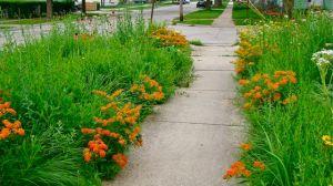 Butterfly Weed front sidewalk