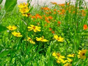 butterfly weed and stiff coreopsis