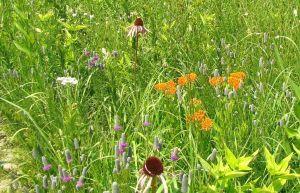 butterflyweed schulenberg prairie