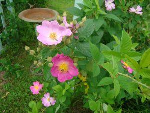 Prairie Rose small cluster