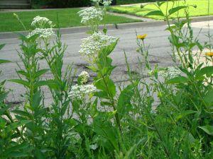 wild quinine next to street