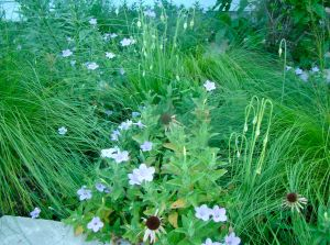wild petunia and Nodding wild onion June