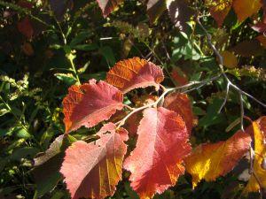 hazelnut leaves