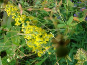 showy goldenrod single