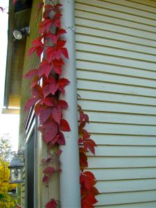 virginia creeper on drainpipe