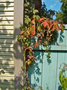 virginia creeper on fence
