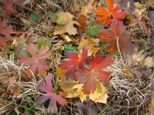 wild geranium leaves fall