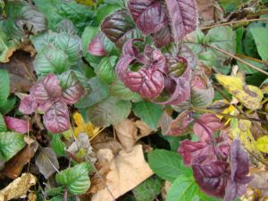 eastern beebalm leaves Nov