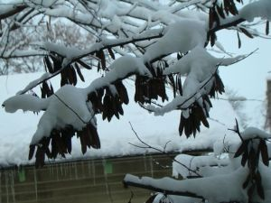 Snow & Redbud pods