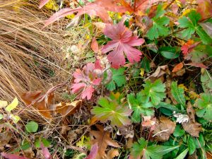 grass, wild geranium colorful leaves, nov