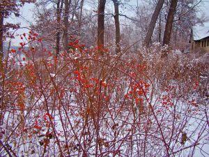 prairie rose berries