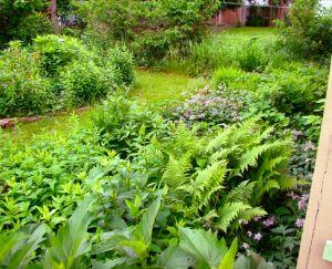 back-yard ferns
