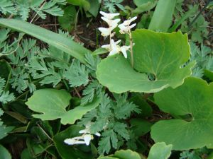 Dutchman's Breeches and Bloodroot leaf