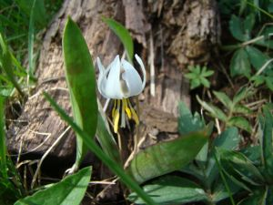 trout lily 2016