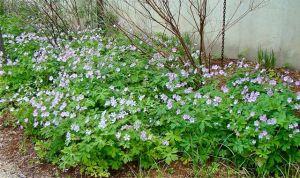 Wlld Geranium PP underplant