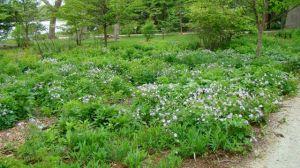 wild geranium savanna PP