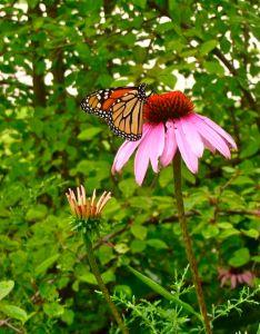 butterflies monarch