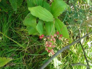 feathery-false-solomons-seal-berries