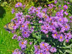 butterfly-on-new-englandd-aster
