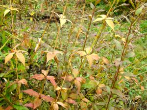 culvers-root-fall-foliage