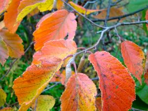 hazelnut-autumn-leaves