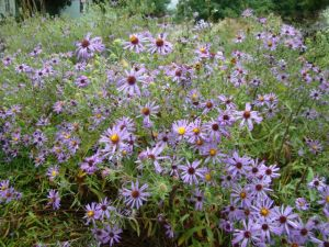 aromatic-aster-10416-blog