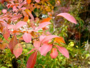 black-haw-branch-fall-color